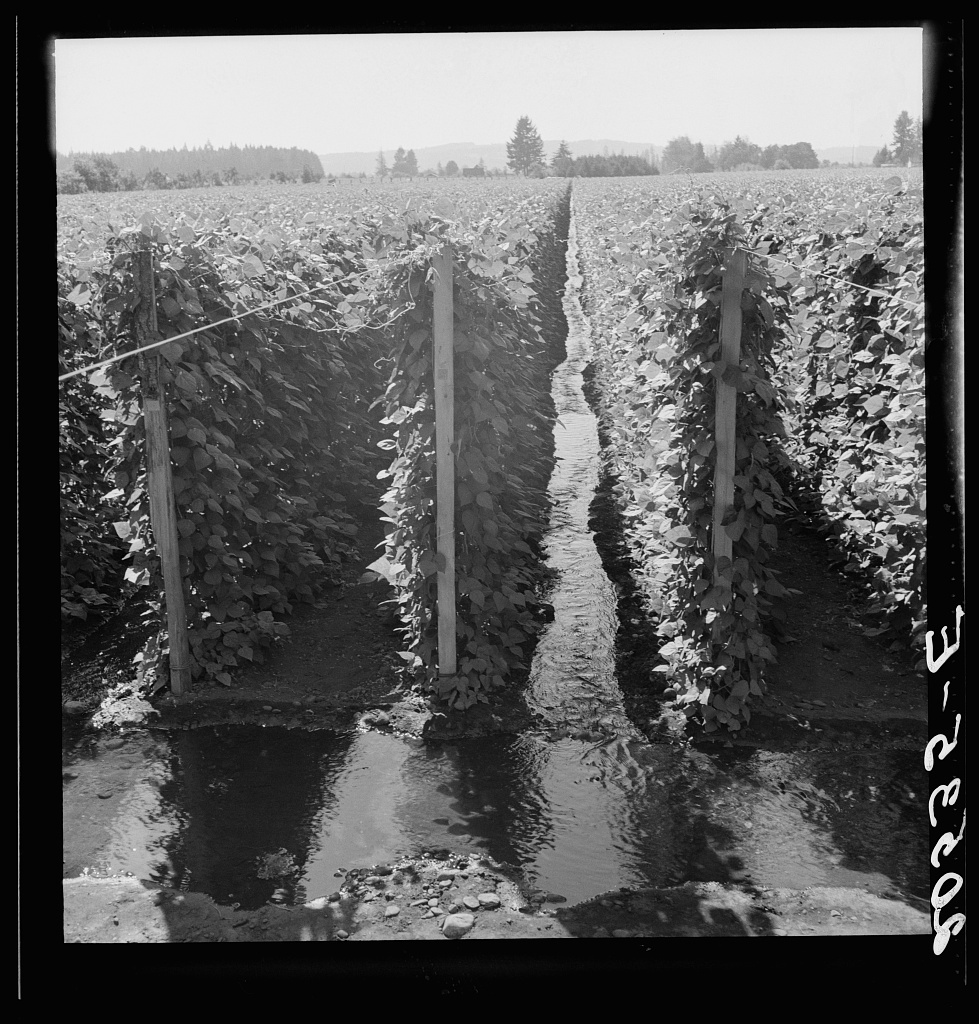 Oregon, Marion County, near West Stayton. Beanfield showing irrigation. See general caption number 46
