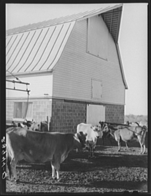 Part of the dairy herd at Bois d'Arc cooperative. Osage Farms, Missouri