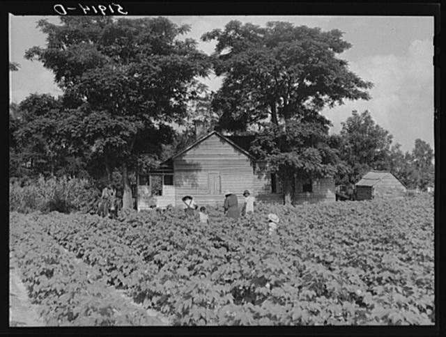 Pauline Clyburn, rehabilitation client at Manning, Clarendon County, South Carolina, and her children working in tobacco or cotton