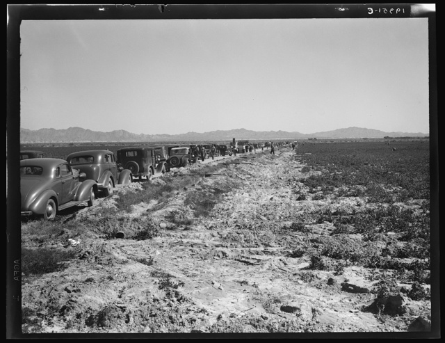 Pea field during harvest on Sinclair Ranch, near Calipatria, Imperial Valley, California. Cars between the fields belong to field bosses, weighers, packers, and pickers, of whom there were 500 in the field on the day this photograph was made