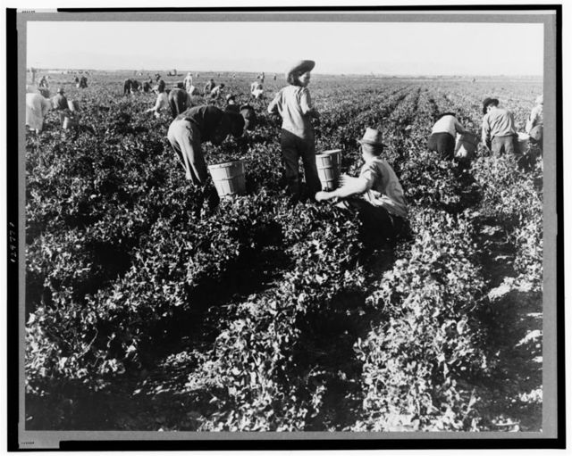 Pea pickers. California