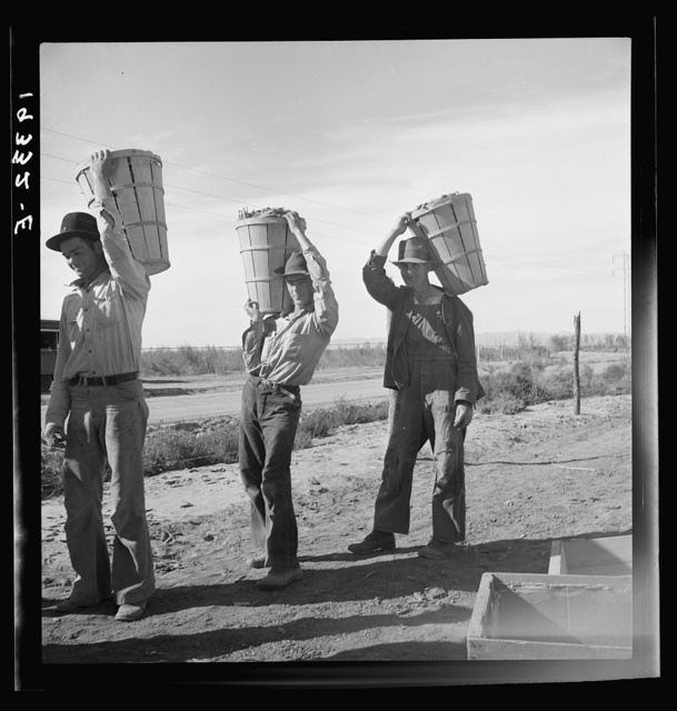 Pea pickers coming in from field to the weigh master. Imperial Valley, California