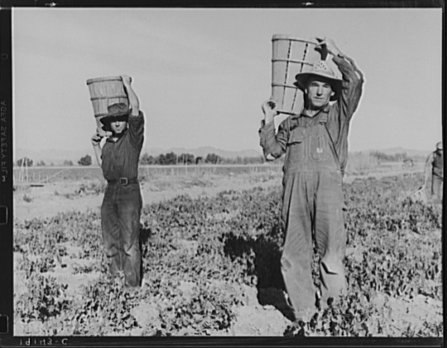 Pea pickers coming into the weigh master. Near Calipatria, California
