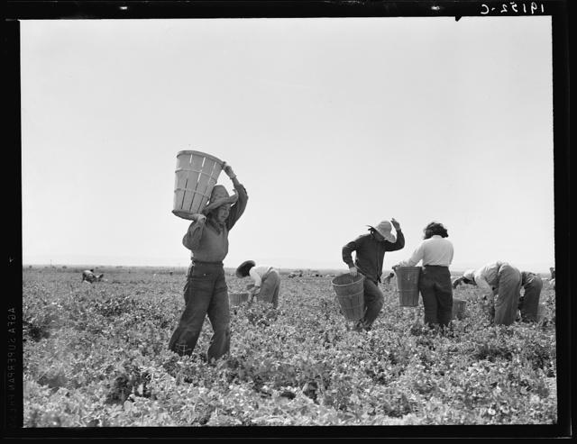 Pea pickers near Calipatria, California
