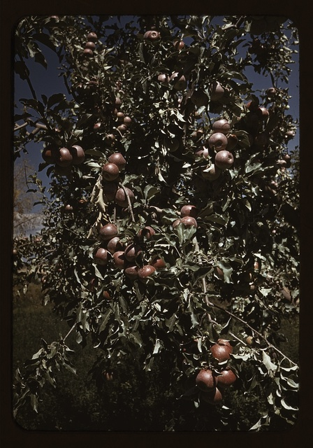 Peaches [i.e. apples] on a tree, orchard in Delta County, Colo.