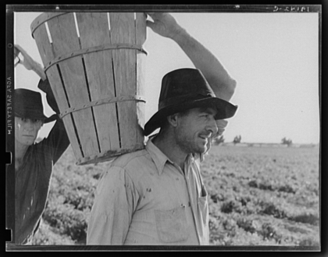 Pickers coming into the weigh master. Pea field near Calipatria, California