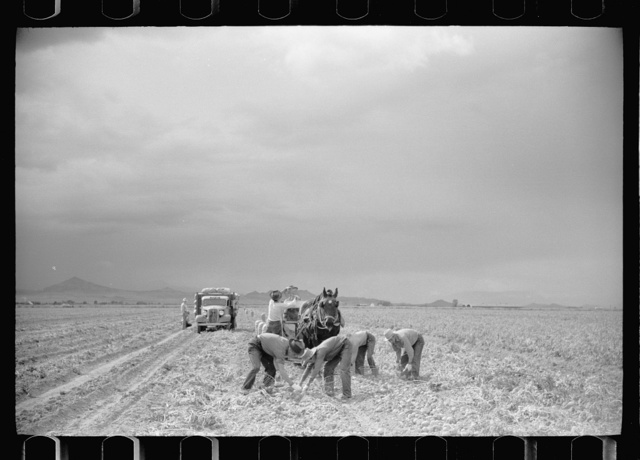 Picking potatoes in San Luis Valley, Rio Grande County, Colorado