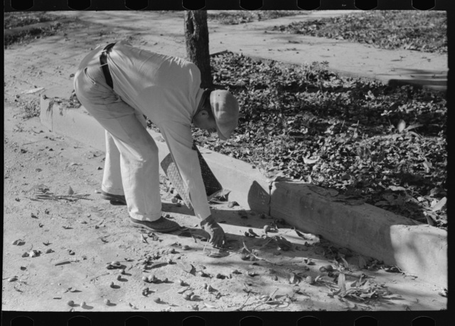 Picking up pecans from ground, San Angelo, Texas