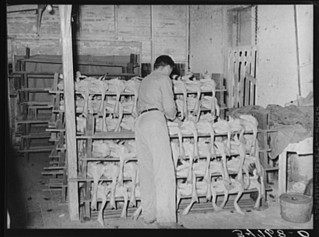 Piling picked turkeys on racks. Cooperative poultry house, Brownwood, Texas