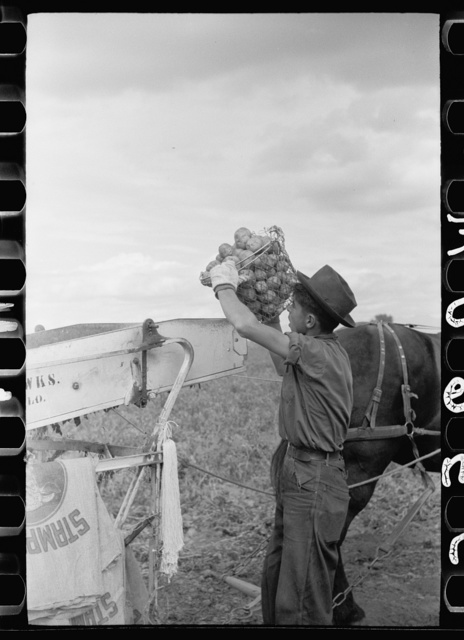 Potato picker empties basket into shaker screen, Rio Grande County, Colorado