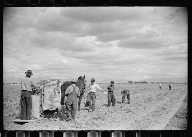 Potato pickers, Rio Grande County, Colorado