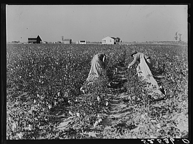 Project farmer and son picking their cotton. Sunflower Plantation, Merigold, Mississippi