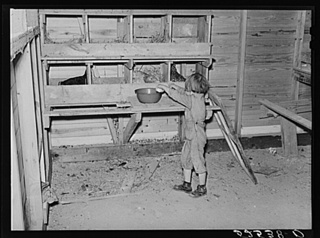 Project farmer's daughter gathering eggs in a new chicken house. Sunflower Plantation, Merigold, Mississippi