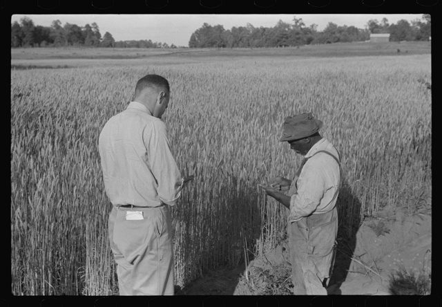 Project manager, Amos Ward, with one of FSA (Farm Security Administration) borrowers, Simon Joiner, examining wheat which is grown on every farm for subsistence purposes to see when it will be ripe enough to harvest. Flint River Farms, Georgia