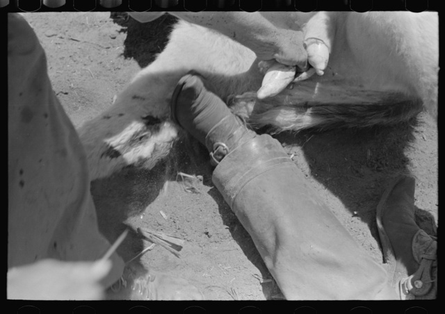 Pulling out calves' testicles before cutting. Cattle ranch near Spur, Texas