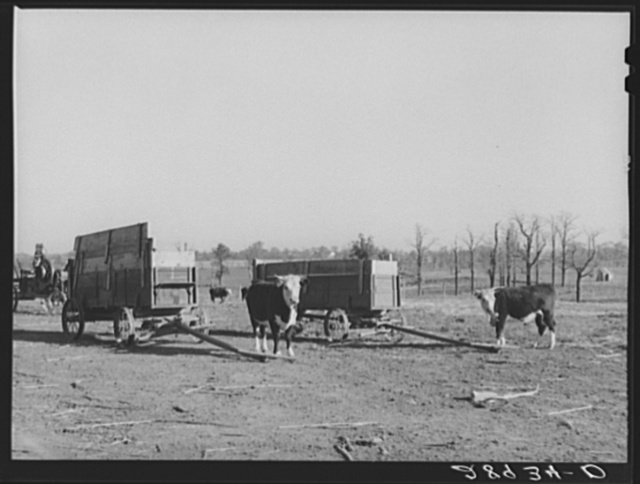 Purebred Herefords are raised and fattened for the market at the Bois d'Arc cooperative. Osage Farms, Missouri
