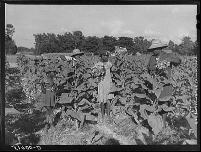 Rehabilitation client Pauline Clyburn, Manning, Clarendon County, South Carolina, topping tobacco