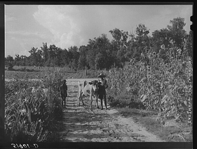 Rehabilitation client Pauline Clyburn, Manning, Clarendon County, South Carolina, bringing in cow