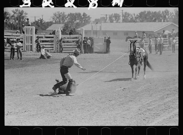Roping a calf, rodeo, Miles City, Montana
