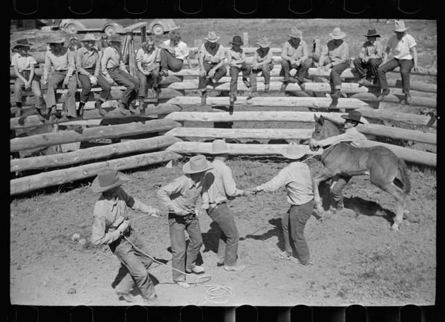 Roping a colt for branding, Quarter Circle U roundup, Montana