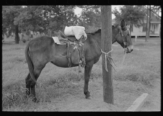 Saddle horses with supplies tied to telephone post, Saturday afternoon, San Augustine, Texas