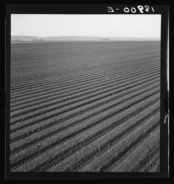 Salinas Valley, California. Large scale, commercial agriculture. This single California County (Monterey) shipped 20,096 carlots of lettuce in 1934, or forty-five percent of all carlot shipments in the United States. In the same year 73.8 percent of all United States carlot shipments were made from Monterey County, Imperial Valley, California (7,797 carlots) and Maricopa County, Arizona (4,697). Production of lettuce is largely in the hands of a comparatively small number of grower-shippers, many of whom operate in two or all three of these Counties. Labor is principally Mexican and Filipino in the fields, and white American in the packing sheds. Many workers follow the harvests from one valley to the other, since plantings are staggered to maintain a fairly even flow of lettuce to the Eastern markey throughout the year