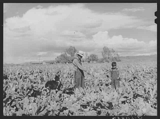 Serepio Media, FSA (Farm Security Administration) rehabilitation client, and son, Mike, in field. Costilla County, Colorado