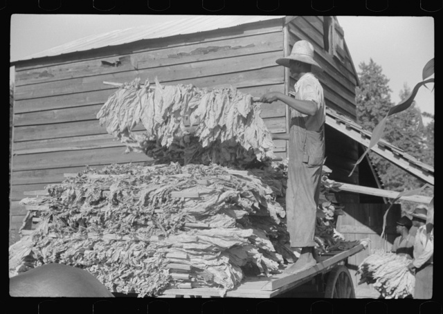 """Sharecropper family near Manning, South Carolina. One of the sons is """"putting in"""" tobacco"""
