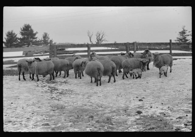 Sheep on farm, Lisbon, near Franconia, New Hampshire