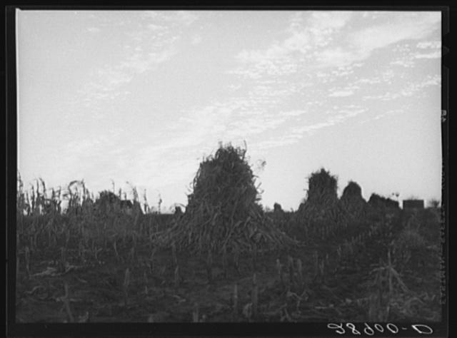 Shocks of corn. Pettis County, Missouri