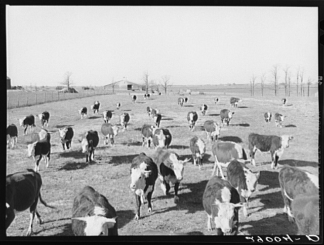 Some of the 108 cattle being fattened at the Bois d'Arc Cooperative follow a wagonload of sorgo. Osage Farms, Missouri