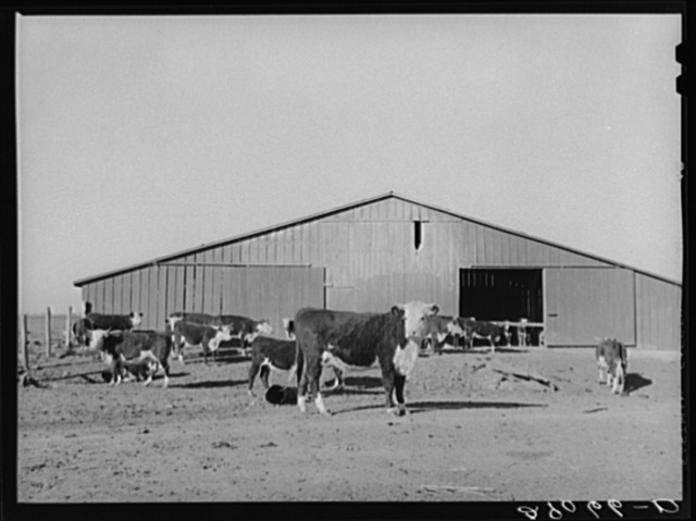 Some of the cattle on feed. Bois d'Arc Cooperative, Osage Farms, Missouri