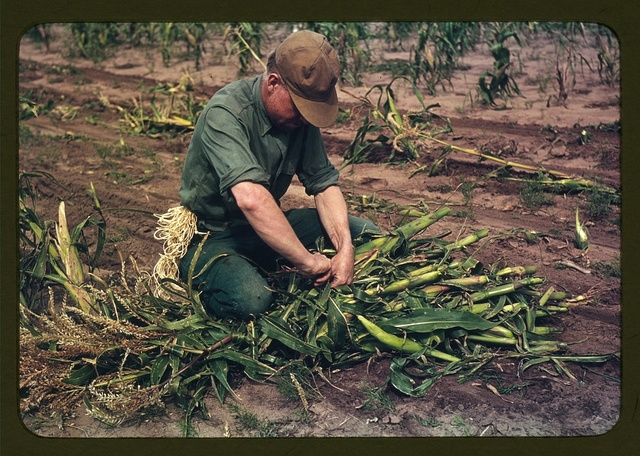 Son of Jim Norris, homesteader, tying corn into bundles, Pie Town, New Mexico