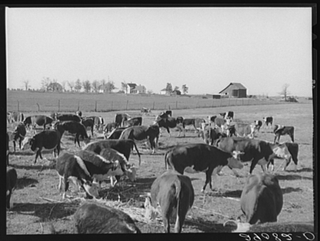 Sorgo is fed to the 108 Hereford cattle. Bois d'Arc Cooperative. Osage Farms, Missouri