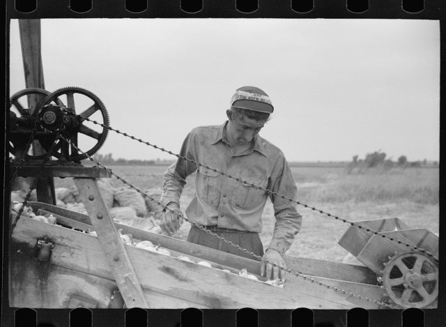 Sorting onions, Rice County, Minnesota