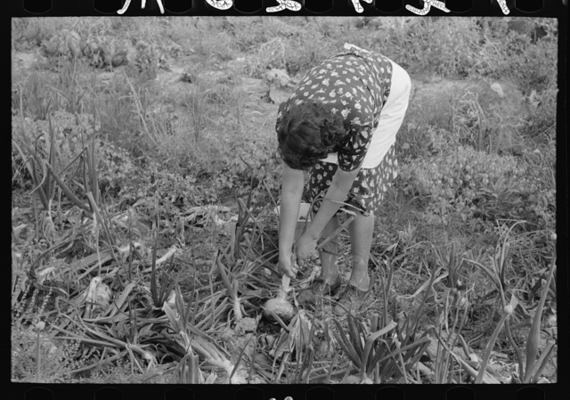Spanish-American FSA (Farm Security Administration) client pulling onion from her garden, Taos County, New Mexico