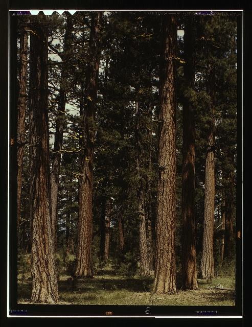 Stand of virgin ponderosa pine, Malheur National Forest, Grant County, Oregon
