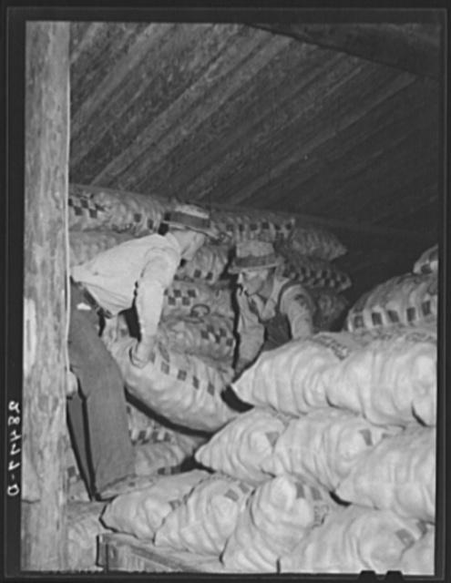 Storing potatoes in cellar. Rio Grande County, Colorado