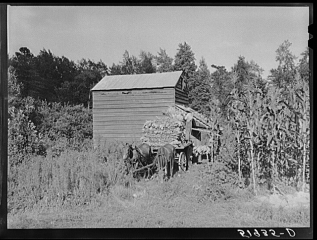 Stringing tobacco to go into curing house. Near Manning, South Carolina