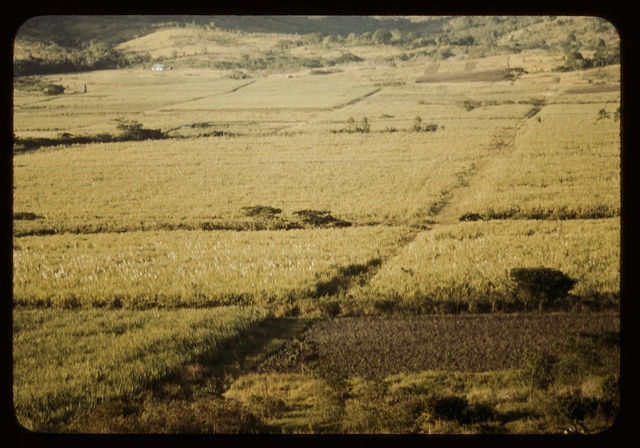 Sugar cane fields on the north-west part of the island, St. Croix island, Virgin Islands