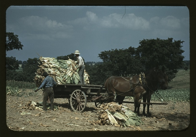 Taking burley tobacco in from the fields, after it has been cut to dry and cure in the barn, on the Russell Spears' farm, vicinity of Lexington, Ky.