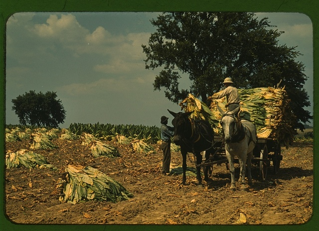 Taking Burley tobacco in from the fields, after it has been cut, to dry and cure in the barn, Russell Spears' farm, vicinity of Lexington, Ky.