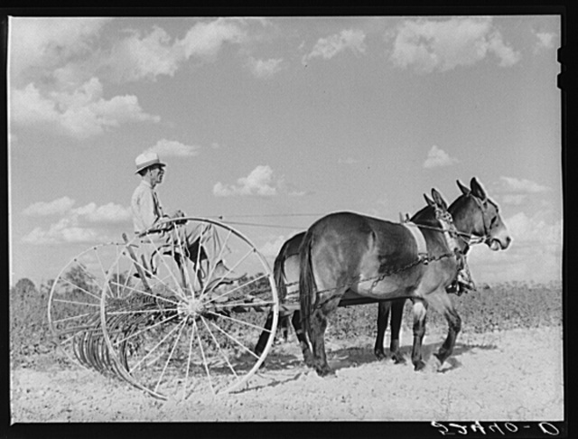 Tenant purchase client Mr. Crowell, near Isola, Mississippi Delta, with new hay rake and mules
