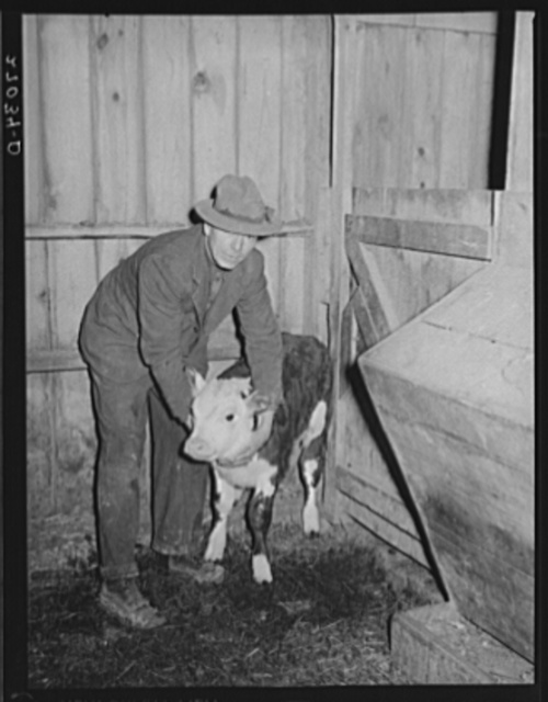 Tenant purchase client with calf. Saline County, Illinois (see 27031-D)