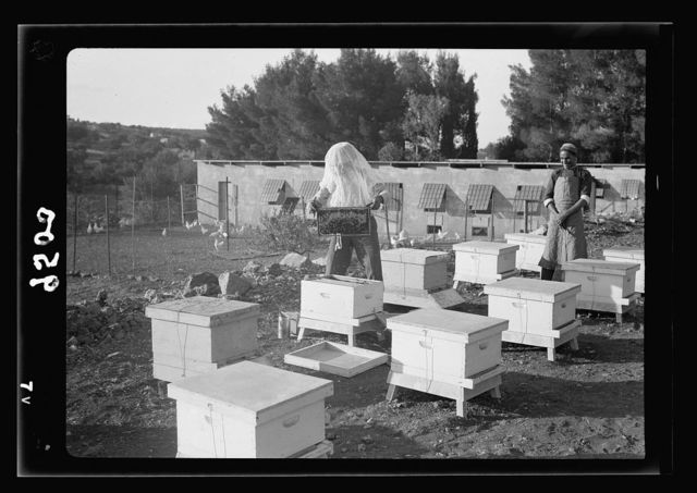 The Bethlehem Poultry Farm. (Esan Safieh). Bee culture in Bethlehem. Closer view showing a honey comb lifted from the hive