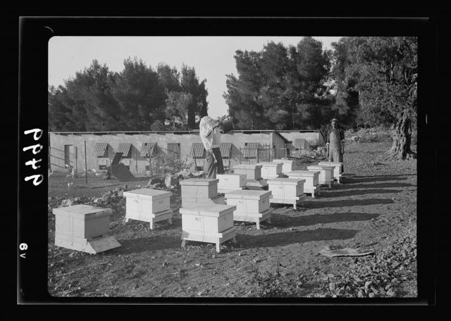 The Bethlehem Poultry Farm. (Esan Safieh). Bee culture in Bethlehem. Line of bee hives