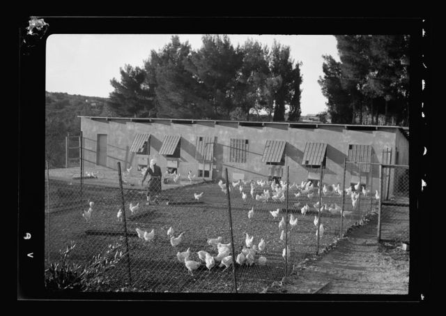 The Bethlehem Poultry Farm. (Esan Safieh). Bee culture in Bethlehem. Poultry & bees