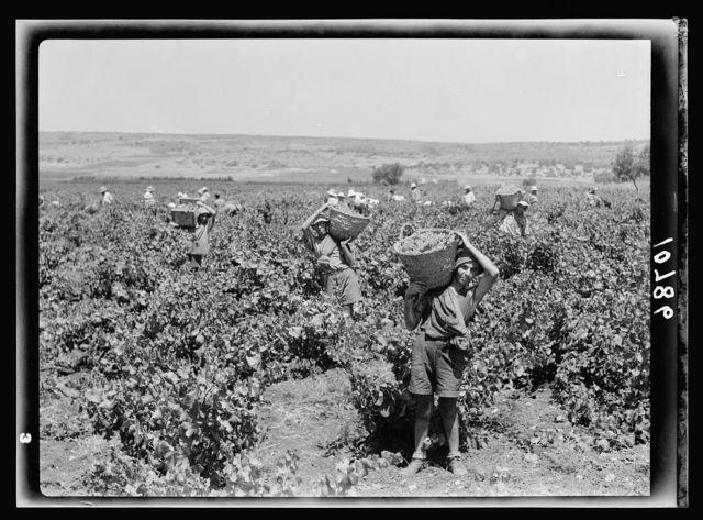 The vintage season Zikh'ron Ya'aqov, July 24, 1939. Gen[eral] view of the vineyards, showing group of grape pickers & basket boys