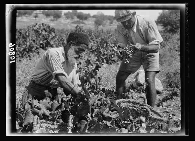 The vintage season Zikh'ron Ya'aqov, July 24, 1939. Two different types of pickers, Orthodox Jew & recent immigrant