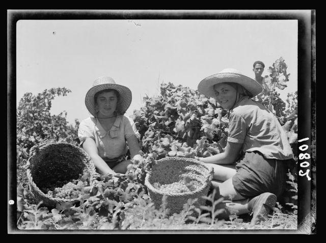 The vintage season Zikh'ron Ya'aqov, July 24, 1939. Two girl pickers (close up)